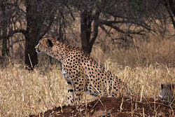 Our cheetah is close to her cub but is already scenting game for dinner