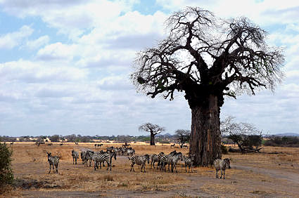 A herd of zebras next to a baobab on our first day. One more baobab in the background.