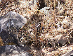 Our first leopard, a gorgeous beast but without a cub