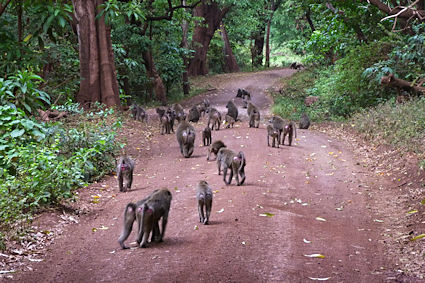 Baboons usually moved around in big groups and often used the road, when there was one.