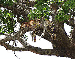 One of three leopards hanging or lying on various branches in a tree. Hilarious.