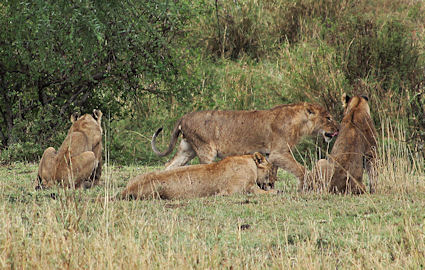 The pride of lions we saw in the rain in northern Serengeti.