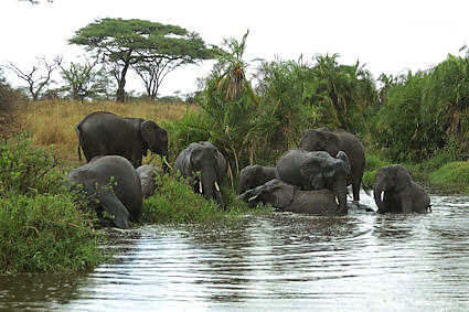 A highpoint in our safari. A group of ten elephants cavorting in the water -- and in the rain