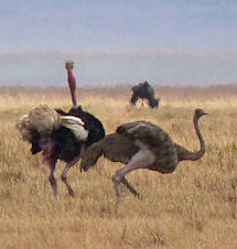 The ostriches we saw on two consecutive days. We named them Herman and Helen.