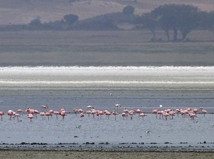 Photo taken from far away on a rainy day -- flamingos and the shimmering salt strip left over from what was once a much bigger lake